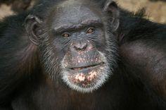 RENOVAÇÃO: Obra de chimpanzé ganha US$ 10 mil ao vencer concu...