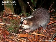 Bornean ferret-badger (Melogale everetti