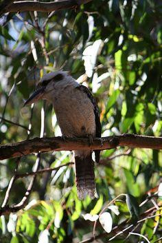 Kookaburra sits in the old gumtree, Deep Creek Conservation Park, South Australia by faithmonsoon, via Flickr
