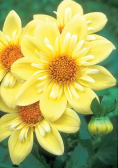 Shade Garden Flowers And Decor Ideas 'Clair De Lune' Dahlia Amazing Flowers, Yellow Flowers, Beautiful Flowers, Exotic Flowers, Dahlia Flowers, Happy Flowers, My Secret Garden, Belleza Natural, Dream Garden