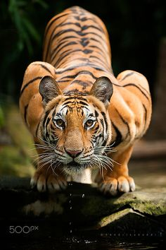 Majestic Tiger by Hendri Suhandi on 500px