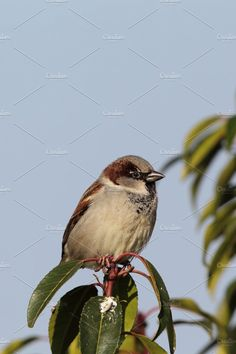 House Sparrow (Passer domesticus) Photos Male House Sparrow (Passer domesticus) sitting on a twig in the garden. by dirkr