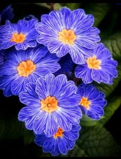 ~~Blue Zebra Primrose (primula acaulis zebra blue) new garden bed! Unique Flowers, Exotic Flowers, Amazing Flowers, Diy Flowers, Colorful Flowers, Purple Flowers, Spring Flowers, Beautiful Flowers, Flower Diy