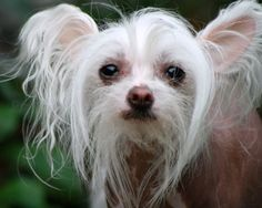 chinese crested toy dog