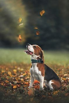 Cute Dogs And Puppies, Baby Dogs, Pet Dogs, Dog Cat, Beagle Breeds, Best Dog Breeds, Cute Names For Dogs, Cute Beagles, Beagle Puppy