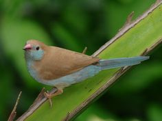 Red-cheeked Cordon Bleu. Florida Museum of Natural History photo by Ryan Fessenden