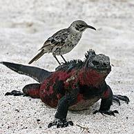 Zeeleguaan (Amblyrhynchus cristatus) met Galapagosspotlijster (Nesomimus trifasciatus macdonaldi) op de rug, eiland Espanola, Galapagos.
