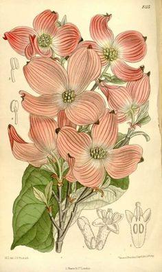 Cornus florida - the Flowering Dogwood from: Curtis's Botanical Magazine, vol. 136 [ser. 4, vol. 6]: t. 8315. 1910