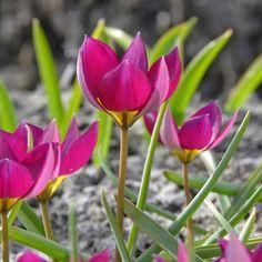 Tulipa humilis 'Persian Pearl' - die Mini-Tulpe in exotischem Fuchsia passt wunderbar in Naturgärten. Zauberhaft! Pflanzzeit ist im Herbst - online bestellbar bei www.fluwel.de
