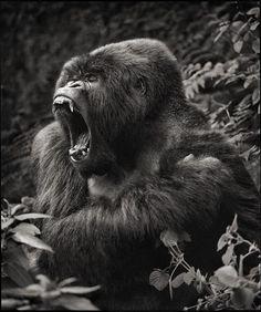 Silverback Gorilla by Nick Brandt