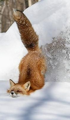 Funny Animals, Cute Animals, Winter Wonder, Wild Nature, Puppy Pictures, Beautiful Creatures, Fox, Puppies, Samoyed