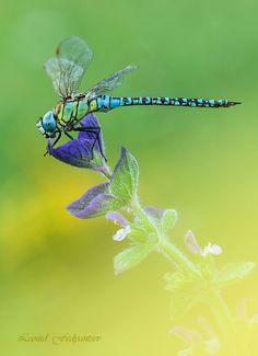 Blue-eyed Hawker (Aeshna affinis) by Leonid Fedyantsev