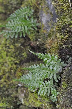 Licorice Fern in the Gorge
