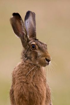 Brown Hare portrait by Peter Edge Hare Images, Hare Pictures, Rabbit Pictures, British Wildlife, Wildlife Art, Beautiful Creatures, Animals Beautiful, Animals And Pets, Cute Animals