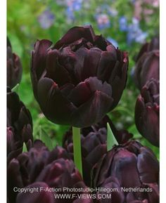 """Tulip Black Hero. This is the double version of the famous """"Queen of night"""" It has the same color (dark purple/ black)  t, only a double layer!"""
