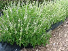 Basil Lime - mosquito repellent plants