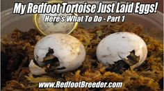 If you have a healthy, adult pair of Redfoot Tortoises you will eventually have to deal with your female laying eggs. Here's part 1 of what to do when your Redfoot does lay a clutch of eggs. Tortoises, New Tricks, Eggs, Female, Healthy, Phoenix, Food, Turtles, Tortoise