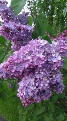 Lilac (another one of my favorite flowers - these remind me of my Mom)