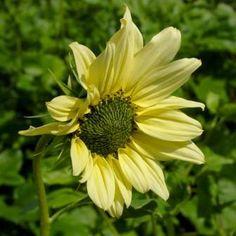 Italian Green Heart Sunflower