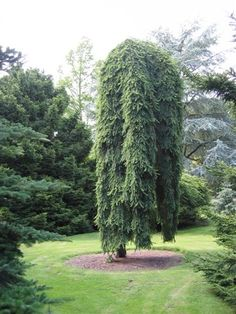 New Weeping Landscaping Tree Ideas Japanese Garden, Evergreen Plants, Plants, Garden Trees, Trees And Shrubs, Conifers Garden, Picea Abies, Landscape Design, Landscaping Trees