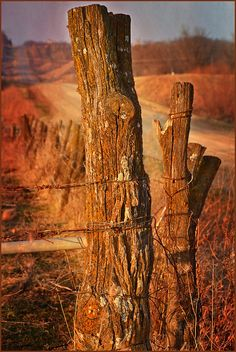 Fence Posts using old trees.