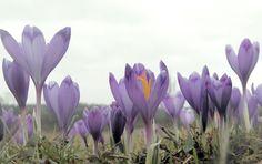 Закарпатська Долина нарцисів ожила рідкісними рослинами.