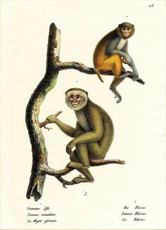 Greeting Card: Barbary Macaque