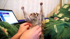 And now... at last - Sonya!!!! (slow loris tickle)