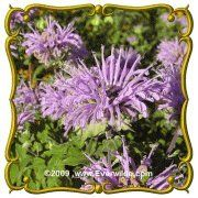 Wild Bergamot (Monarda fistulosa) Jumbo Wildflower Seed Packet (2000) by Everwilde Farms Inc.. $2.75. Butterfly attracting premier!  Bursting with lavender heads of flowers, this popular perennial wildflower puts on a beautiful show!  Medium to tall in height, this plant looks great planted en masse, or with other meadow dwellers.  Its sweetly aromatic foliage makes it even more desirable.  A classic!