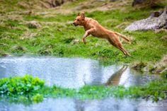 Jump Panther, Dogs, Animals, Animales, Animaux, Animal Memes, Animal, Pet Dogs, Dog