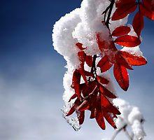 Snow on the Rose Bush by Diane Blastorah