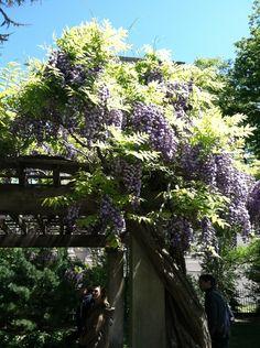 Wisteria at Brooklyn Botanical Garden.      #wisteria     #garden     #brooklyn     #brooklyn botanical garden     #sakura matsuri