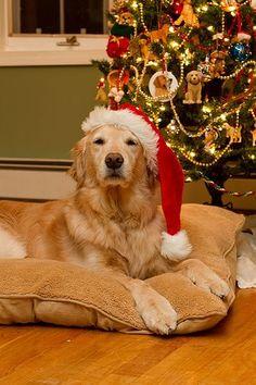 .Christmas Golden www.superstarpetservices.com