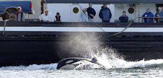 INFOGRAPHIE. Le bruit des navires est un danger pour les orques