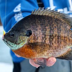 1000 images about bluegill fishing on pinterest fishing for Best ice fishing lures for panfish