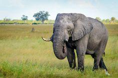A big bull elephant in Savuti, Botswana. Photo from March 2013.