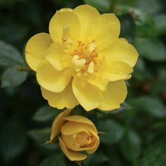 Oso Easy Lemon Zest Rose - easy care rose