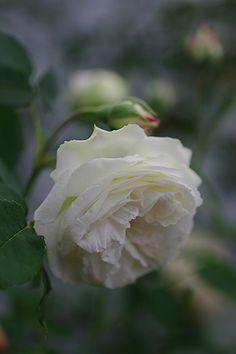 ~Bourbon Rose: Rosa 'Perle des Blanches' (France, 1872)