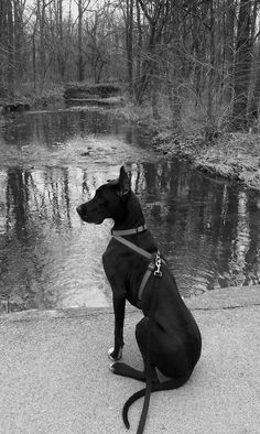 Great Danes = Best dogs ever!