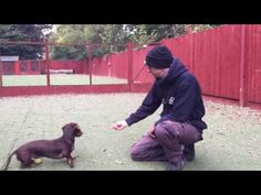 Take a look at our Before and After video of dealing with Excessive barking, with Arnold the Miniature Dachshund. Arnold joined our 3 week Complete Training . Training Programs, Training Tips, Dog Training, Miniature Dachshunds, Long Haired Dachshund, Dog Breeds, Cute Pictures, Labrador Retriever, Pup