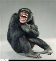 Singe qui rigole. Photo amusante d'un chimpanzé qui a pris un fou rire
