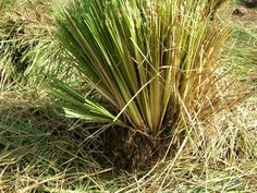 Harvested Vetiver Grass clump