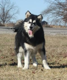"giant alaskan malamute puppies for sale, alaskan malamutes, kodiak... ""I am totally getting one!...when I'm older"""