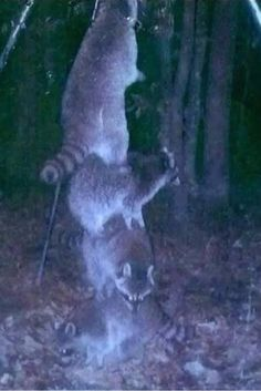 Deer feeder high off the ground so raccoons can't reach