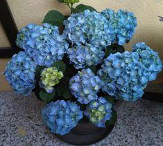 "Hydrangea ""Bluebells"""