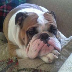 #Bulldog rapt in contemplation #Buldog