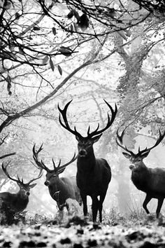 Deer black and white