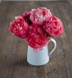 Bright Pink Peonies  Daily peonies: happy