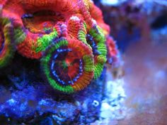 Acan, or Acanthastrea coral