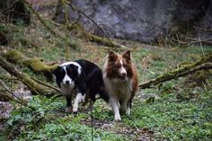 My dogs with us in the mountain hike -Border Collie-